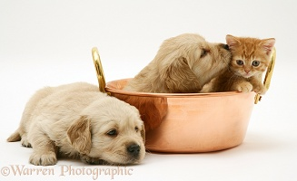 Golden Retriever pups and ginger kitten in a copper pan