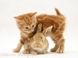 Ginger kitten and baby fawn rabbit