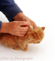 Applying spot-on flea treatment to a ginger kitten