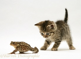 Tabby kitten and toad