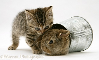 Tabby kitten with young rabbit in a watering can