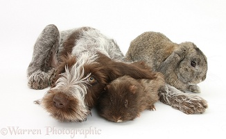 Spinone pup with Guinea pig and rabbit