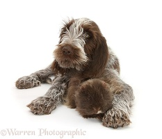 Spinone pup with rough haired Guinea pig