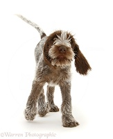 Spinone pup trotting forward