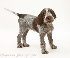 Spinone pup standing