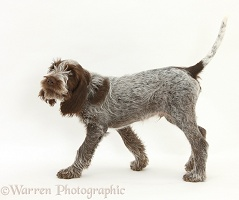 Spinone pup walking across
