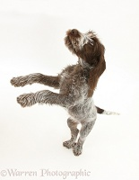 Spinone pup standing up on hind legs