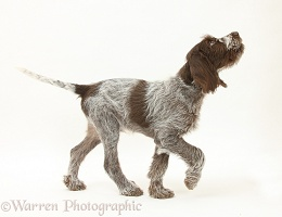Spinone pup trotting across