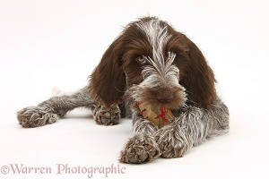 Spinone pup chewing a rawhide shoe
