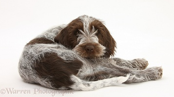 Spinone pup lying looking over his shoulder