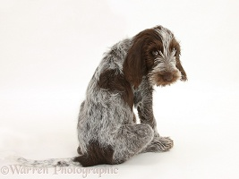 Spinone pup sitting looking over his shoulder