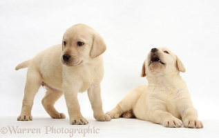 Yellow Labrador Retriever puppies, 7 weeks old
