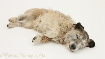 Patterdale x Jack Russell Terrier unconscious