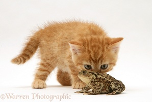 Ginger kitten and toad