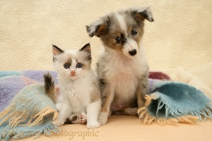 Birman-cross kitten and Sheltie pup