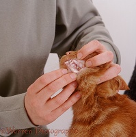 Showing gums of ginger cat with anemia