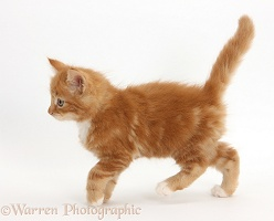 Ginger kitten, 7 weeks old, walking across
