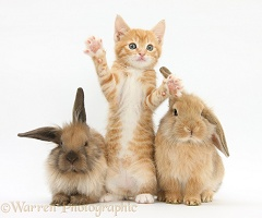 Ginger kitten and young Lionhead-Lop rabbits