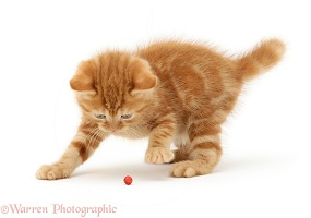 Ginger kitten playing with a holly berry