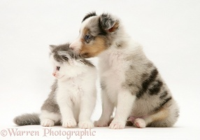 Sheltie pup and kitten