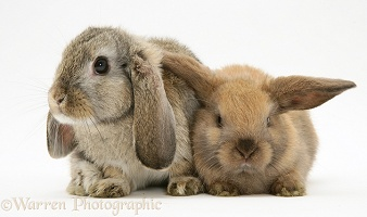 Mother and young Lop Rabbit