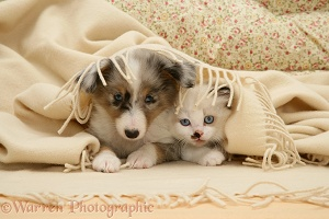 Sheltie pup and kitten under a blanket