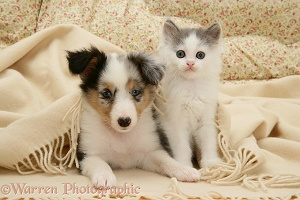 Sheltie pups under a blanket