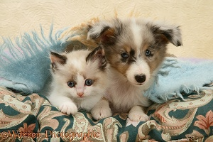 Birman-cross kitten and Sheltie pup under a scarf