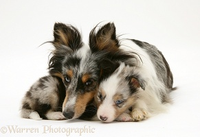 Sheltie and pup