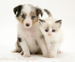 Birman-cross kitten with Sheltie pup