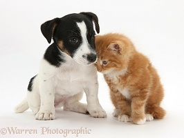 Jack Russell Terrier pup with a ginger kitten