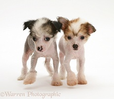Naked Chinese Crested pups