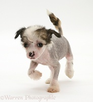 Naked Chinese Crested pup
