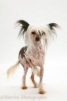 Naked Chinese Crested bitch