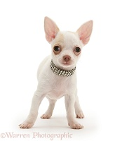 Chihuahua puppy with diamond collar
