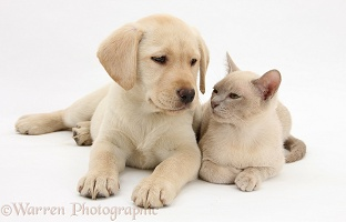 Yellow Labrador Retriever pup and young Burmese cat