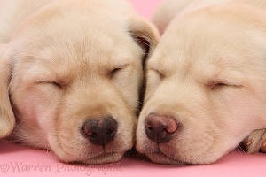 Sleepy Yellow Labrador Retriever pups