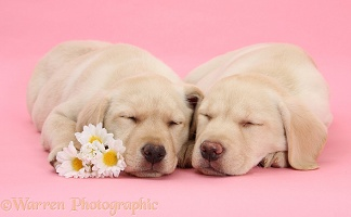 Yellow Labrador Retriever pups with asleep with flowers