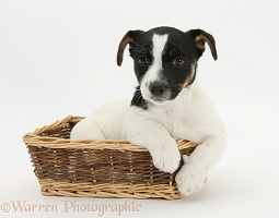 Jack Russell Terrier pup in a wicker basket