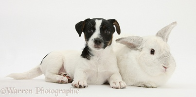 Jack Russell Terrier pup with a white rabbit