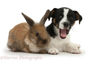 Jack Russell Terrier pup with a rabbit