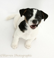 Jack Russell Terrier pup looking up