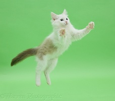 Birman x Ragdoll kitten leaping on green background
