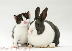 Black-and-white kitten with grey Dutch rabbit