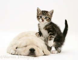 Tabby kitten with Golden Retriever pup