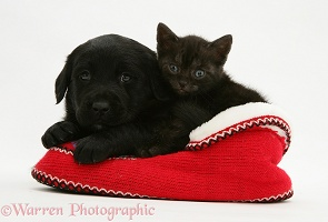 Black Retriever pup and black kitten in slippers