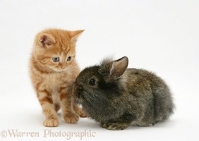 Ginger kitten with Lionhead rabbit