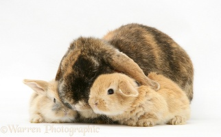 Tortoiseshell Lop rabbit with Sandy babies