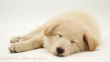Sleepy White Alsatian pup