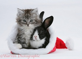 Maine Coon kitten and baby rabbit in a Santa hat